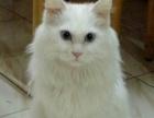 六百块蓝眼全白长毛猫幼崽奶猫接受预定