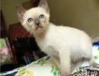 小暹罗猫出售,活泼好动的,非常的亲人
