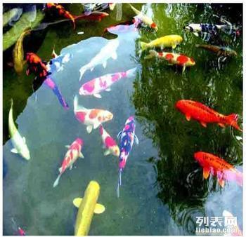 供应承德市观赏鱼锦鲤苗 水产鱼苗养殖场批发价格