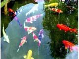 北京魚苗批發 求購鯉魚魚苗 錦鯉魚苗批發 放生魚 垂釣大魚