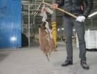个人饲养的马犬出售 马犬价格