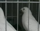 毛领鸽多少钱一对哪里有卖毛领种鸽
