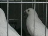 元宝鸽多少钱一对元宝鸽能涨到多重