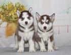 可爱哈士奇犬 保纯种 三针疫苗齐全 健康血统有保障