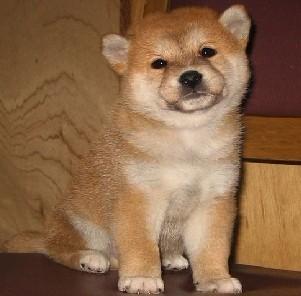 合肥出售纯种秋田公母都有 可爱聪明 欢迎上门看狗狗
