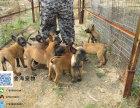 出售纯种马犬疫苗驱虫已做齐全包健康签协议
