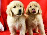成都优良血统 纯种金毛犬 健康 活泼 已疫苗驱虫