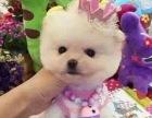 哪里有卖纯种双血统博美犬纯种的长什么样子