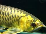 龙鱼金龙鱼蓝底过背重金属特价印尼小红龙超血绿皮三文虎魟鱼