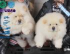 CKU认证犬舍 松狮犬 保障健康 终生售后