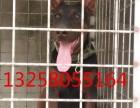 三四个月的黑狼犬图片 纯种黑狼犬幼崽价格怎么卖