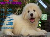 宠物店和狗市里的大白熊可以买吗 健康的多少钱一只