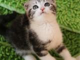 浙江嘉兴猫舍直销美短幼猫多少钱一只