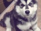 深圳直销精品幼犬、品质保证,血统纯正,欢迎上门挑选狗狗