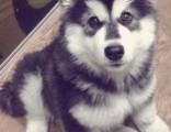 北京繁殖基地出售大中小型宠物犬,正规专业,品种齐全