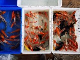 上海哪里卖锦鲤鱼,热带鱼,鱼缸