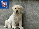 高品质神犬小七拉布拉多 保纯种健康 基地直销