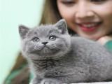 厦门哪里有宠物猫卖 厦门英短蓝猫多少钱一只