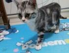 自己养的虎斑猫