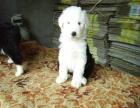 中国较大双血统古代牧羊犬繁殖基地 可实地考察