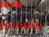 出售杜高犬,比特犬,马犬,卡斯罗幼犬,公母都有