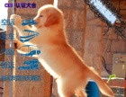 純種健康金毛犬幼犬尋回犬金毛黃金獵犬 包健康簽協議