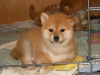 专业繁殖日本纯种柴犬
