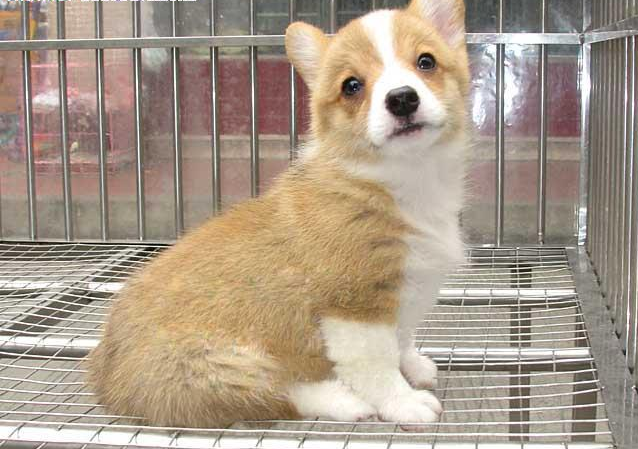 **精品威尔士柯基犬出售 疫苗做齐多只可选保健康