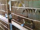 出售自家繁殖玉鸟