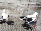张家口哪里有卖鸽子的、元宝鸽价格、凤尾鸽价格、毛领鸽价格