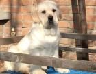 大连纯种拉不拉多幼犬出售 大连拉布拉多犬舍黄色白色拉布拉多