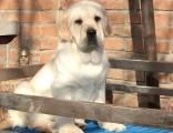 大连哪里能买到纯种拉布拉多犬舍黄色拉布拉多犬导盲犬拉布拉多出