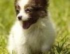 精品蝴蝶犬 专业机构认证 血统保纯正 健康质保