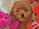 低的价格 好的品质 纯的泰迪犬