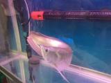 自家养的风水银龙鱼