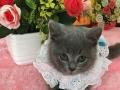 出售纯种英国短毛猫 可爱包子脸蓝猫 健康保证质量
