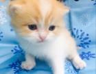 杭州南京苏州宁波赛级加菲金吉拉豹蓝暹罗无毛猫价位 双飞猫