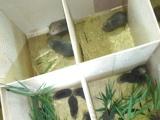 竹鼠种苗出售,包教技术,包回收,品质保证