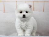 济南 博美幼犬 保证纯种健康 签订活体协议 包退换