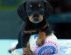昆明 售自家繁殖2-4个月腊肠犬 疫苗齐全包纯种包健康