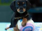 最长情的相伴 您的爱宠腊肠犬 给它一个温暖的家吧!