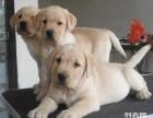 拉布拉多幼犬出售 骨量极佳 赛级血统 欢迎前来挑选视