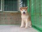 福州纯种日系秋田犬怎么卖的 福州秋田照片 纯种秋田出售