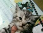 家养标准美国虎斑幼猫