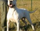 出售纯种杜高犬 杜高幼犬 品质好信誉高质量保