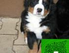 真正的顶级精品纯种伯恩犬质量三包出售送货上门