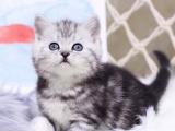 美短加白幼崽猫舍直销