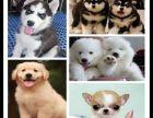 上海出售比熊狗狗拉布拉多犬价格拉布拉多导盲犬