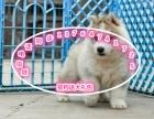 哈士奇幼犬出售啦疫苗齐全 可送货上门 疫苗驱虫已做
