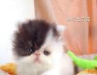CFA家庭繁育加菲猫。健康可爱黏人。价格不高